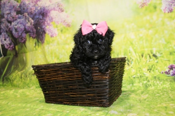 4 Tiffany Female CKC Malshipoo1lb 15oz 5W4D old (31)