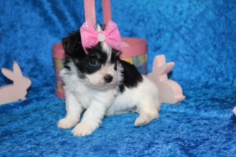 4 Waffles Female CKC Havanese 1 lb 9 oz 5W1D Old (6)