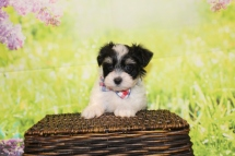 5 Bacon Male CKC Havanese 1lb 11oz 7W3D old (51)