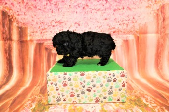 5 Bruno Male CKC Maltipoo 2lbs 1.5oz 6W3D old (39)