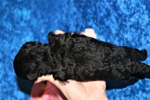 5 Buster Male CKC Maltipoo 15.7oz 1W6D old (8)