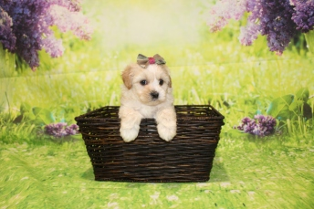 5 Dior Female CKC Malshipoo 1lb 15oz 5W4D old (21)