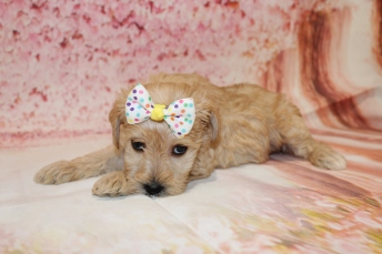 5 HIssy Female CKC Schnoodle 2lb 10.5oz 5W1D old (62)