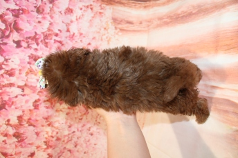 5 Joy (Chloe) Female CKC Maltipoo 1lb 10.5oz 6W3D old (4)