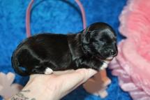 5 Lilo Female CKC Havapoo 11.9oz 10 days old (3)