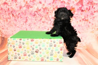 5 Love Female CKC Maltipoo 1lb 2oz 6W3D old (23)