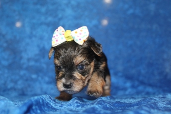 5 Luna Female CKC Morkie 1lb 5.2oz 4W2D old (30)