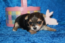 5 Mighty Dog CKC Havashire Male 1 Lb 5.5 oz 3 Weeks (21)