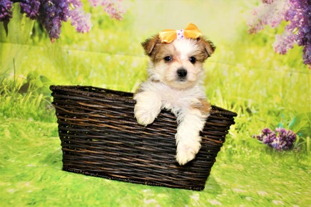 Myka Female CKC Morkie $2000 Ready 4/26 HAS DEPOSIT MY NEW HOME FORT LAUDERDALE, FL 1lb 9oz 6W1D old