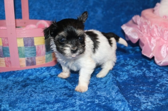 5 Pancake Female CKC Havanese 15 oz 5W1D Old (3)