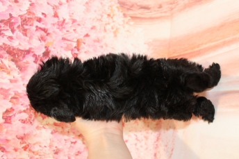 5 Peace Male CKC Maltipoo 1lb 6oz 6W3D old (3)