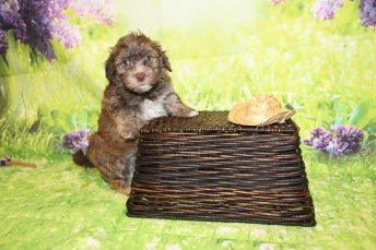 5 Reed Male CKC Havanese 2lbs 10.5oz 5W4D old (39)
