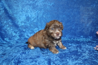 5 Reed Male CKC Havanese 2lbs 4oz 3W5D old (30)