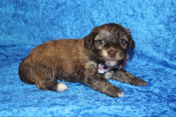 Rusty Male CKC Havanese $2000 Ready 4/30 AVAILABLE 3W5D old