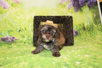 Rusty Male CKC Havanese $2000 Ready 4/30 HAS DEPOSIT MY NEW HOME CLEARWATER, FL 2lbs 9.5oz 5W4D old