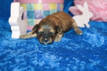 5 Stitch Male CKC Havapoo 14oz 10 days old (17)