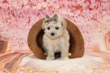 5 Sundae Female CKC Malshipoo 2lb 5oz 5W1D old (40)