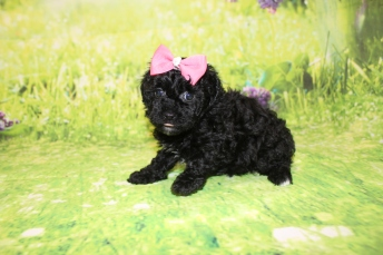 5 Tiffany Female CKC Malshipoo1lb 15oz 5W4D old (20)