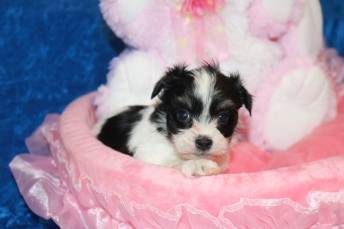 5 Waffles Female CKC Havanese 1 lb 9 oz 5W1D Old (11)
