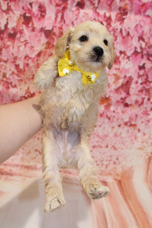 6 ARF Male CKC Schnoodle 2lbs 8oz 5W1D old (23)
