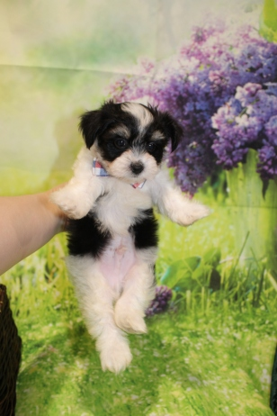6 Bacon Male CKC Havanese 1lb 11oz 7W3D old (53)