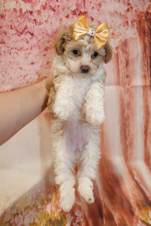 6 Bebop Female CKC Schnoodle 6W4D old 1lb 14oz (15)
