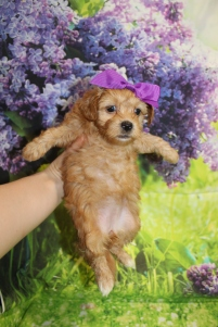 6 Coco Female CKC Malshipoo 1lb 15.5oz 5W4D old (8)