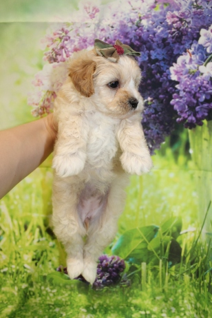 6 Dior Female CKC Malshipoo 1lb 15oz 5W4D old (13)
