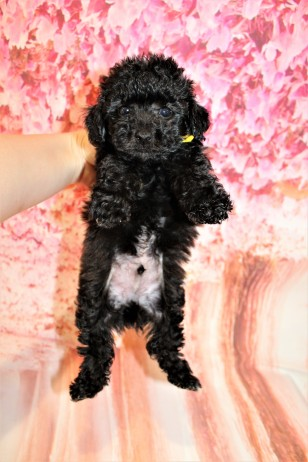 6 Gentle Male CKC Maltipoo 1lb 9.5oz 6W3D old (22)