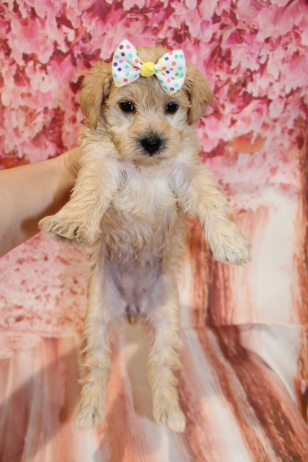 6 HIssy Female CKC Schnoodle 2lb 10.5oz 5W1D old (17)