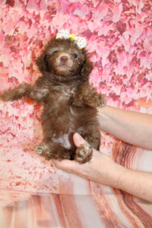 6 Joy (Chloe) Female CKC Maltipoo 1lb 10.5oz 6W3D old (2)