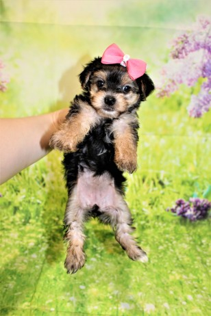 6 Luna Female CKC Morkie 1lb 10.5oz 6W1D old (39)