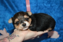 Mighty Dog Male CKC Havashire a/k/a Yorkinese $2000 Ready 5/7 AVAILABLE 1 Lb 5.5 oz 3 Weeks