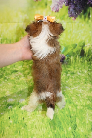 6 Myka Female CKC Morkie 1lb 9oz 6W1D old (13)