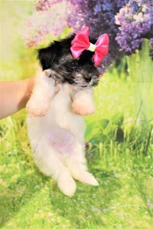 6 Pancake Female CKC Havanese 1lb 6oz 7W3D old (27)