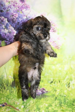 6 Rory (Finn) Male CKC Havanese 2lbs 5.5oz 5W4D old (9)