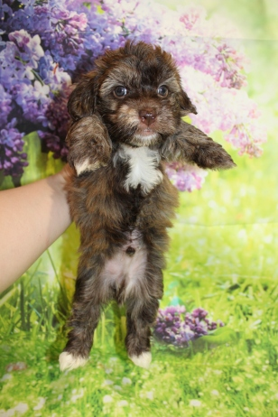 6 Rusty Male CKC Havanese 2lbs 9.5oz 5W4D old (9)