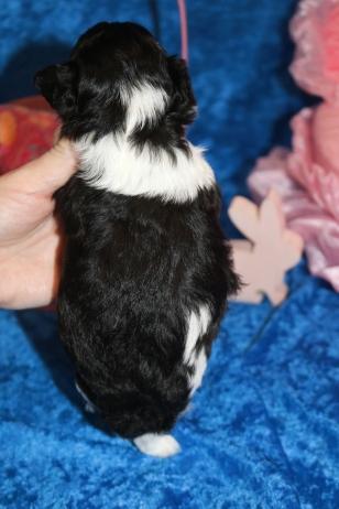 6 Sputnik Male CKC Shihpoo 1lb 1oz 3 weeks old (8)