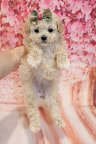 6 Sundae Female CKC Malshipoo 2lb 5oz 5W1D old (11)