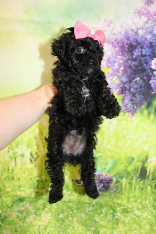 6 Tiffany Female CKC Malshipoo1lb 15oz 5W4D old (16)