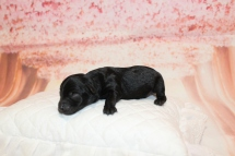 7 Seabeck Male CKC Yorkipoo 7oz 2D old 5.5oz 2D old (3)