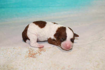 Buddy Male CKC Maltipoo $2000 Ready 7/2 HAS DEPOSIT NEW HOME TAMPA, FL 9 oz 4 Days old