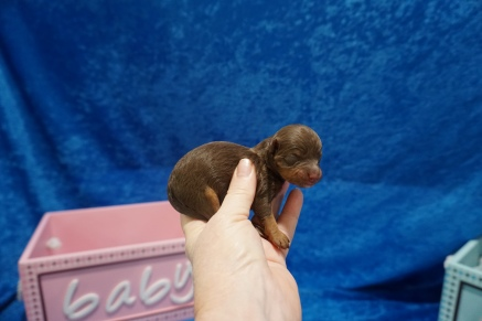 Granny (Molly) Female CKC Havapoo $2000 Ready 7/22 HAS DEPOSIT MY NEW HOME COPPELL, TX 5.5 oz Just Born