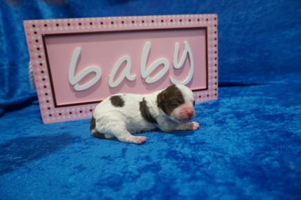 Mutter Female CKC Havapoo $2000 Ready 7/22 HAS DEPOSIT MY NEW HOME JACKSONVILLE, FL 6.2 oz Just Born