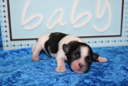 Porter Male Miki $2000 Ready 7/17 HAS DEPOSIT MY NEW HOME PALATKA, FL 7.9 oz 4 Days Old