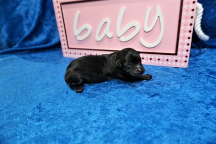Princess Female CKC Havapoo $2000 Ready 7/25 HAS DEPOSIT MY NEW HOME VERO BEACH, FL 5.2 oz Just Born