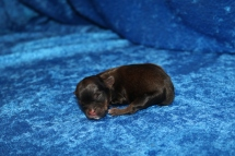 Chewbacca Male CKC Shorkie $2000 Ready 7/18 HAS DEPOSIT GAINESVILLE, FL 3.5 oz 1 Day Old