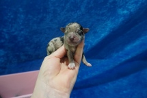 Diva Female CKC Havapoo $2000 Ready 7/25 HAS DEPOSIT MY NEW HOME MIAMI, FL 5.6 oz Just Born