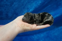 Divo Male CKC Havapoo $2000 Ready 7/25 HAS DEPOSIT MY NEW HOME MANDEVILLE, LA 5.8 oz Just Born