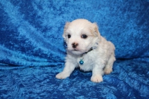 Flash (Frisco) Male CKC Havashu $2000 Ready June 20th HAS DEPOSIT MY NEW HOME JACKSONVILLE, FL 2 lbs 3.1 oz 4W1D Old